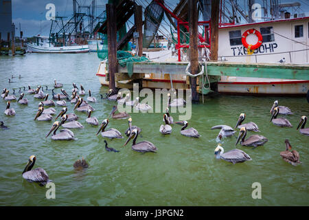 Pelicans in Galveston harbor. Pelicans are a genus of large water birds that makes up the family Pelecanidae. They - Stock Photo