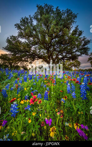 Bluebonnets and Indian Blanket along country road in the Texas Hill Country around Llano. Lupinus texensis, the - Stock Photo