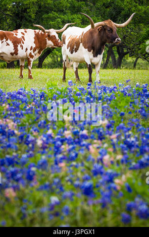 Longhorn cattle among bluebonnets in the Texas Hill Country - Stock Photo