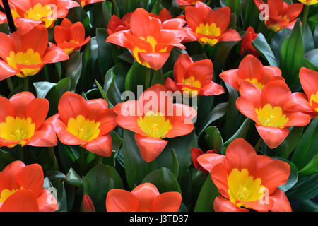 red and yellow tulip garden - Stock Photo