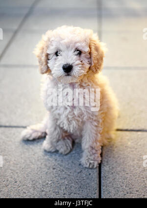 Small little fluffy golden toy poodle puppy sitting on grey tiles looking calmly at the camera in a close up view - Stock Photo
