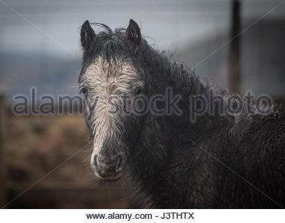 wild blue eyed horse - Stock Photo