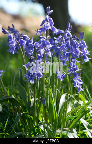 Spanish bluebells, Hyacinthoides hispanica, in full blue flower in a woodland setting.  These plants are invasive - Stock Photo