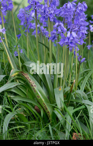 Bluebell rust, Uromyces muscari, disease on the leaves of Spanish bluebells in flower.  Ornamental bluebells growing - Stock Photo