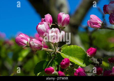 Apple blossom in mid spring on a small tree in a garden in Ireland with bees - Stock Photo