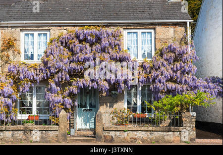 wisteria growing on a cottage in cornwall, england, uk - Stock Photo