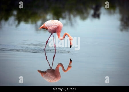 American flamingo (Phoenicopterus ruber) wading in shallow saline lagoon - Stock Photo