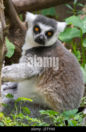 ring-tailed lemur (Lemur catta) at zoo, originally from Madagascar - Stock Photo
