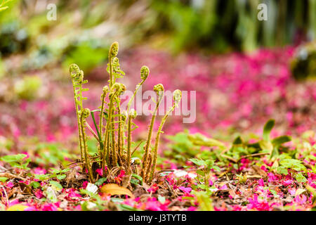 Pink rhododendron petals lie on the ground around ferns growing in a forest. - Stock Photo