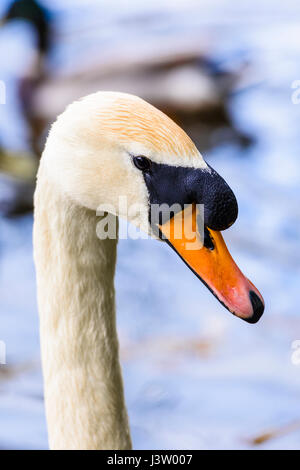 Head and neck of a male mute swan, showing the larger knob on the upper bill than is present on a female. - Stock Photo