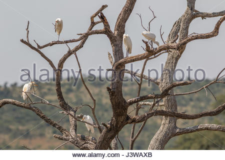 A flock of Western Cattle Egrets perched in the branches of a dead tree. - Stock Photo