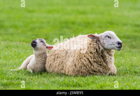 A sheep and lamb in a field dozing looking like they're praying. - Stock Photo