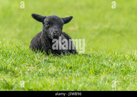 Black lamb resting on grass in a field in Spring in West Sussex, England, UK. Relaxing, resting, relaxed, content, - Stock Photo