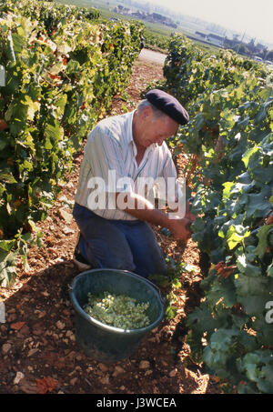 CHARACTER FRENCH GRAPE HARVEST Monsieur Bibi with beret in Blanchot-Dessous vineyard of Michel Colin-Deleger, Chassagne - Stock Photo