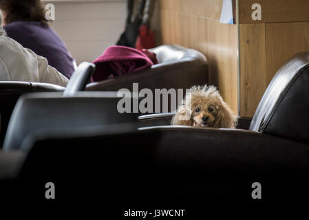 A dog makes direct eye contact;  Sitting on a chair in a cafe; Watching; aware; Watchful; Pet; Cute; Poodle; Animal - Stock Photo