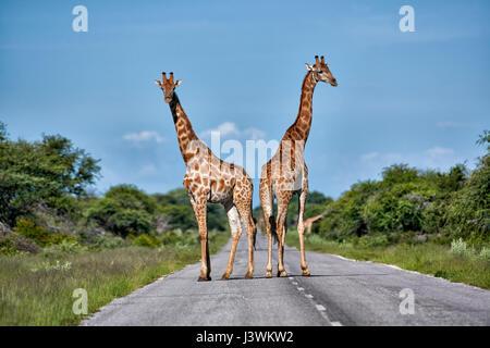 giraffes on road in Etosha National Park - Stock Photo