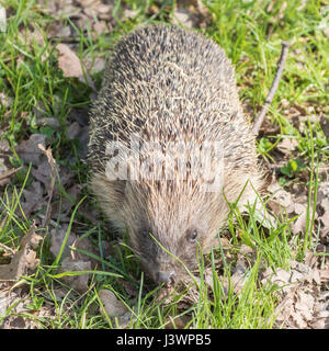 Hedgehog ( Erinaceidae )  on grass - Stock Photo