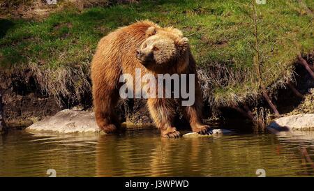 Eurasian brown bear - Stock Photo