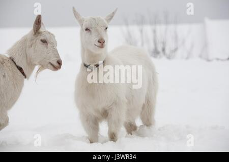 White goats in winter - Stock Photo