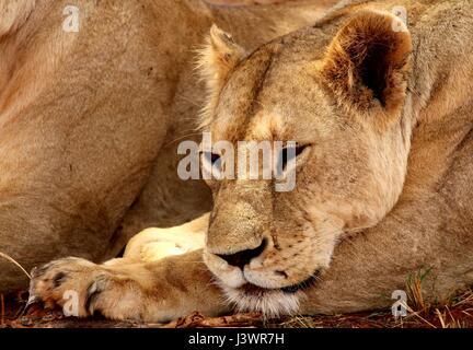 Female lion laying down falling asleep - Stock Photo