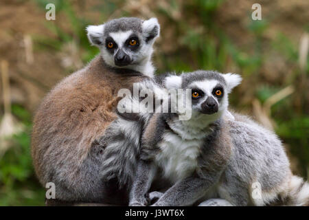 ring-tailed lemur (Lemur catta) at zoo, originally from Madagascar - Stock Photo