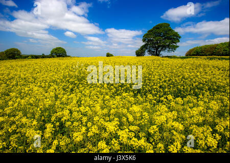 Wigan, UK. 8th May, 2017. UK Weather. Rapeseed fields yellow glow in the beautiful sunshine in Wigan, Greater Manchester, - Stock Photo