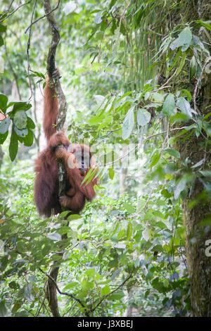 Critically endangered Sumatran orangutan (Pongo abelii) climbing on a vine in the wild. Gunung Leuser National Park. - Stock Photo
