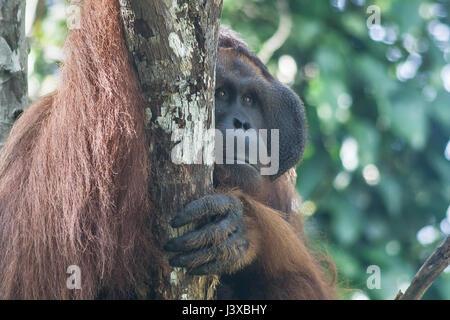 Critically endangered Bornean orangutan (Pongo pygmaeus). Mature males have the characteristic cheek pads. - Stock Photo