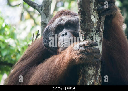 Critically endangered Bornean orangutan (Pongo pygmaeus). Mature males have the characteristic cheek pads. - Stock Photo