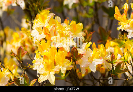 Azalea. Yellow Azalea shrub, also known as Rhododendron luteum and Honeysuckle Azalea in the UK. - Stock Photo