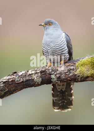 Male Cuckoo (Cuculus canorus) perched on a branch in the Brecon Beacons, Wales, UK - Stock Photo