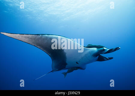 Giant Manta Ray (Manta birostris), underwater view,  Roca Partida, Colima, Mexico - Stock Photo