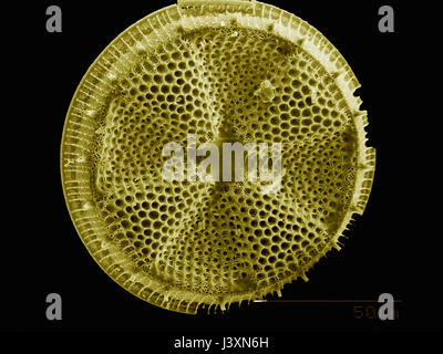 The test of a diatom imaged in a scanning electron microscope - Stock Photo
