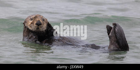 Curious Sea Otter (Enhydra lutris) floating  in Monterey Bay of the Pacific Ocean. - Stock Photo