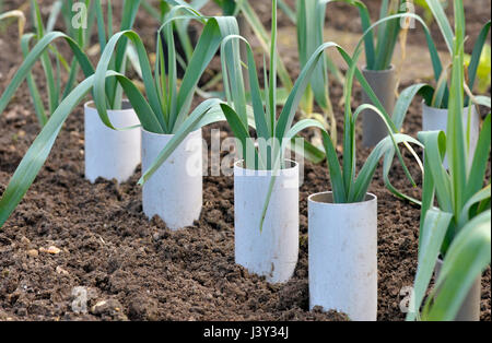 Leeks, allium ampeloprasum growing in plastic pipes to blanch and extend the stems in a vegetable garden, variety - Stock Photo