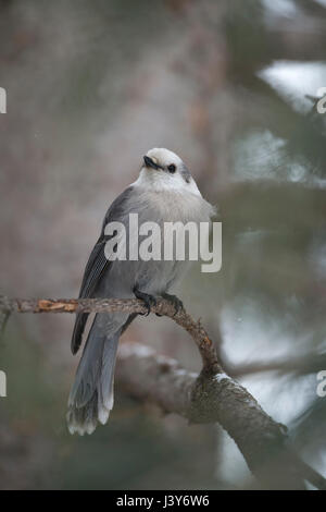 Grey Jay  ( Perisoreus canadensis ) in winter, perched on a twig of a conifer tree, watching up to the sky, frontal - Stock Photo