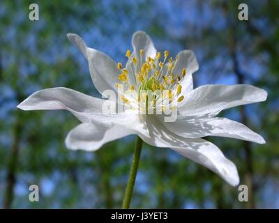Closeup of white wood anemone (Anemone nemorosa), or windflower, thimbleweed and smell fox. - Stock Photo