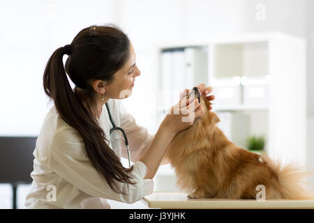Female veterinarian examining teeth of dog in clinic - Stock Photo