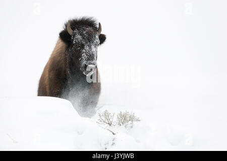 American Bison ( Bison bison ) in winter, breaking through a little hill of deep fluffy snow, frontal shot, Yellowstone - Stock Photo