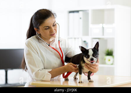 Veterinarian doctor and Chihuahua dog at vet ambulance - Stock Photo