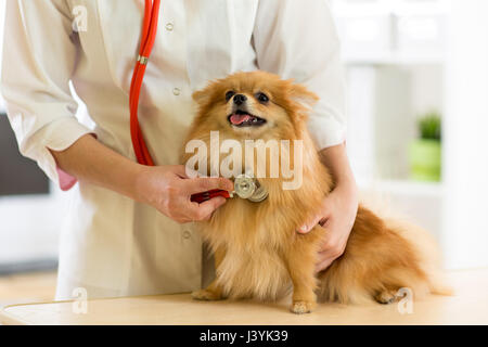 the vet examining the dog breeds Spitz with stethoscope in clinic - Stock Photo