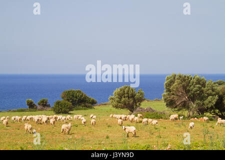 A flock of sheep grazing on a pasture near the sea on the isle of Crete, Greece - Stock Photo