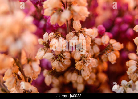 White and purple heathers flower blossom - Stock Photo
