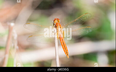 Broad Scarlet (Crocothemis erythraea) Dragonfly on a Stalk in Northern Tanzania - Stock Photo