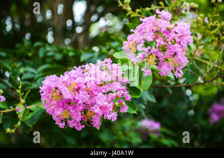 Closeup pink purple crape myrtle flowers, also known as Lagerstroemia indica - Stock Photo