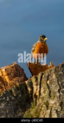 Vertical image of an American Robin, (Turdus migratorius) standing on a stump by the lake - Stock Photo