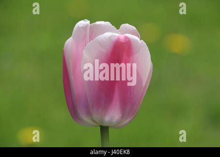 Single pink and white tulip against blurred background - Stock Photo