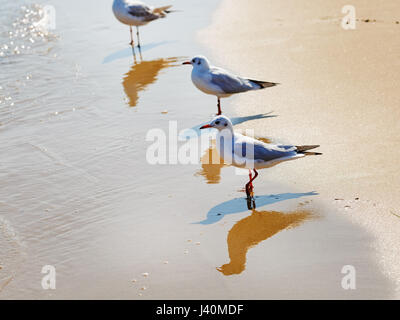 Three gulls on the beach. Seagulls standing in the water on a background of wet sand at the water's edge. Shallow - Stock Photo