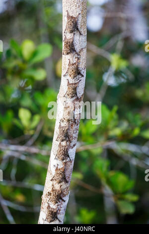 Long-nosed bats (Rhynchonycteris naso) roosting on a tree trunk in daytime, Amazonian tropical rain forest at La - Stock Photo