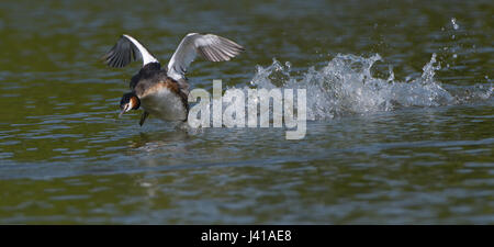 Great Crested Grebe in a very angry mood running over the waters of a small lake in the Northern part of the Netherlands. - Stock Photo